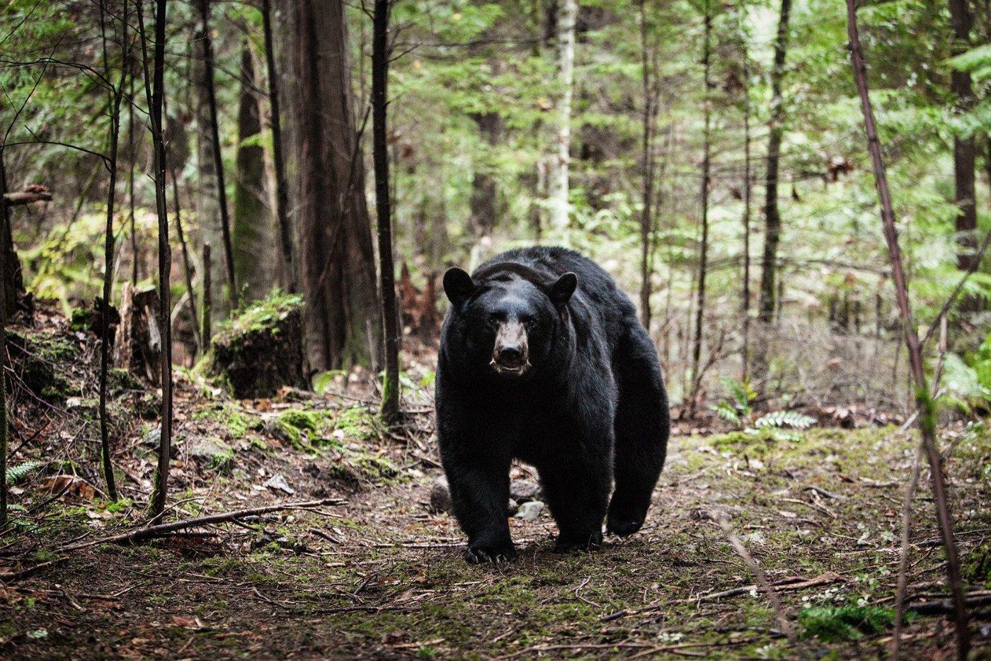 Медведь-убийца